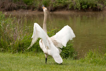 whooping: whooper swan stretching his neck and whooping