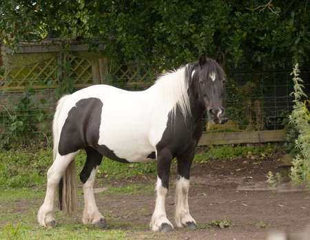 Piebald or pinto horse watching intently