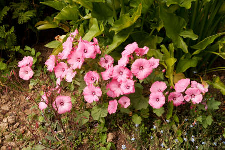 bright pink mallows at vaus stages under other greenery Stock Photo - 7435115