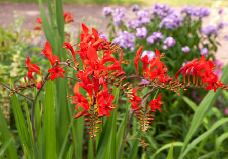 Bright red crocosmia with blue phlox unfocused behind Stock Photo