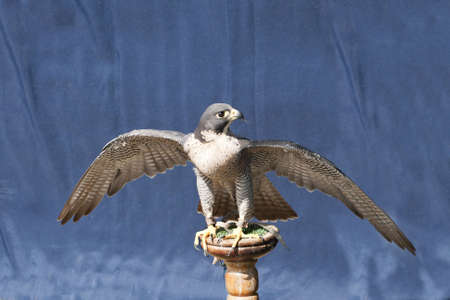 peregrine falcon stretching his wings on a stand photo