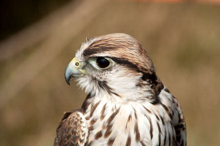 Saker Falcon demonstrating how Birds of Prey turn their heads Stock Photo