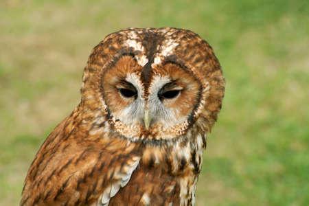 tawny: Tawny Owl, full face
