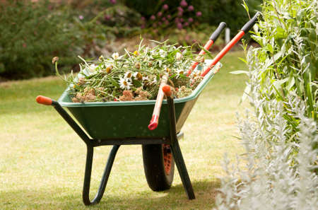 Wheelbarrow into which garden has has been putting results of seasonal cut-backs. photo