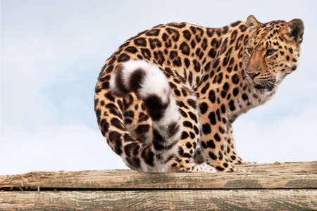 Amur Leopard, endangered species, looking behind to see who is following