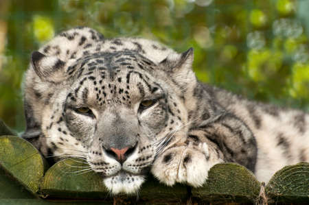 ounce: Snow Leopard or ounce lying down but watchful