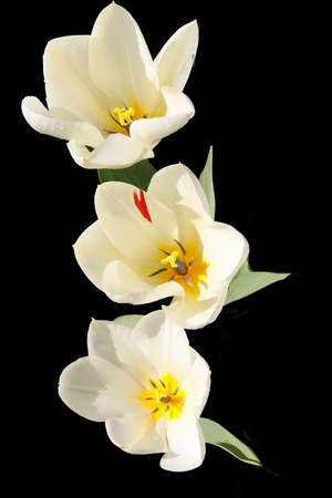 Three cream and yellow tulips with the sun shining into them Stock Photo - 8609353