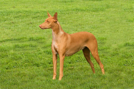 foursquare: Pharaoh hound standing four-square in the middle of the lawn Stock Photo