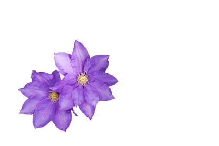 pale mauve clematis flowering in springtime Stock Photo