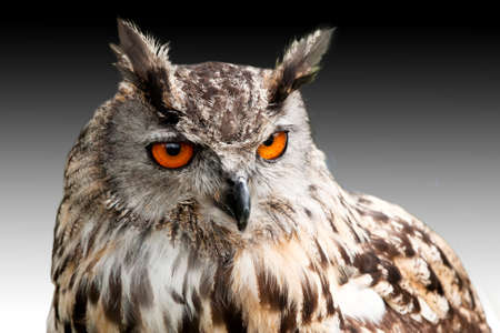 eagle owl glowering against a darkening sky photo