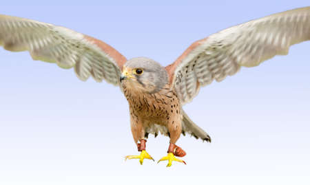 Young peregrine falcon about to land photo