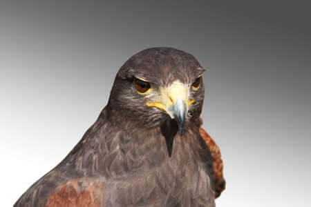 greying: Harris Hawk against a greying sky Stock Photo