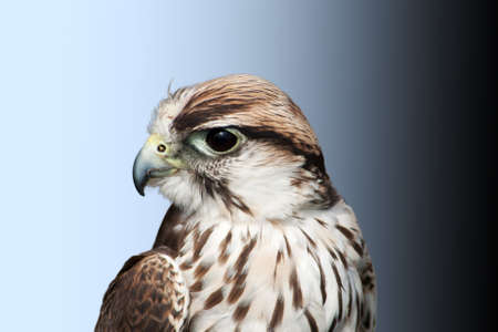 Saker falcon turning his head, showing one piercing eye Stock Photo