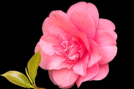 double pink camellia with twig of fresh new leaves on black background