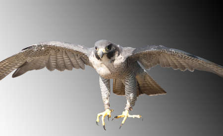 sure: Peregrine Falcon coming in at speed to be sure of its prey Stock Photo