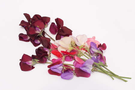 ranging: Bunch of sweet peas, ranging from dark purple down to creamy white Stock Photo