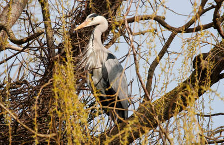gray herons: Grey Heron standing to attention, guarding his nest in a weeping willow tree