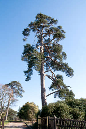 Tall pine tree with very twisted branches Stock Photo