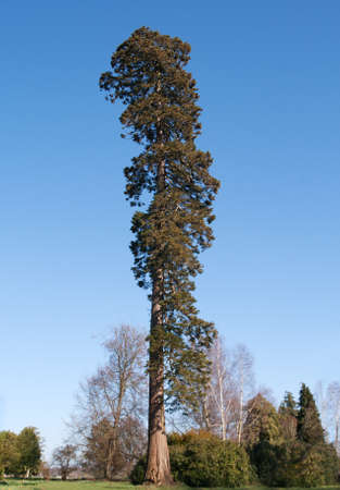 towering: Tall pine tree, towering in focus above the slightly blurred trunk Stock Photo