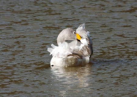 preening: Whooper Swan preening & performing contortions