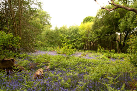 vying: Bracken and bluebells vying for position in a Sussex woodland glade