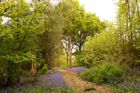 beautiful woodland: Leaf strewn path through bluebells in a chestnut & oak woodland in Sussex