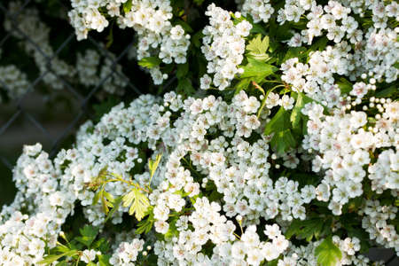 Section of a hawthorn hedge in full blossom Stock Photo - 9447681