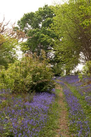 sussex: narrow walkway winding through bluebells in Sussex Stock Photo