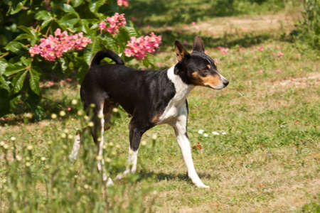 striding: Black dog striding out determinedly among daisy plants