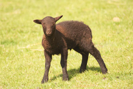 ovine: Dark brown very young Shetland lamb with budding horns
