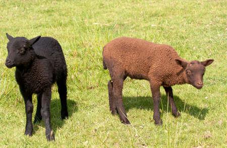 ovine: Young shetland lambs, siblings, black & brown