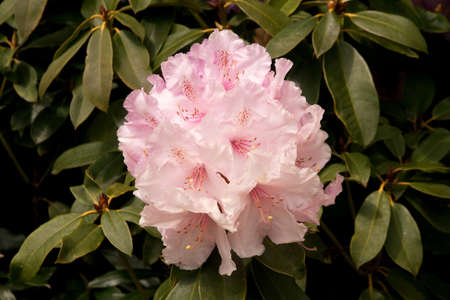 Beautiful pink Rhododendron against a wall of its own dark green leaves Stock Photo - 9628333