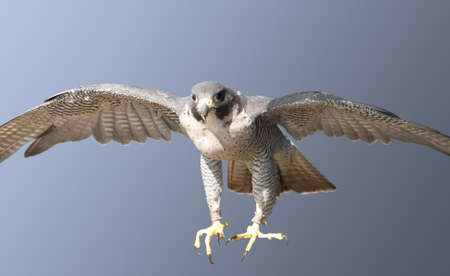 falcon: Peregrine Falcon coming in at speed to be sure of its prey Stock Photo