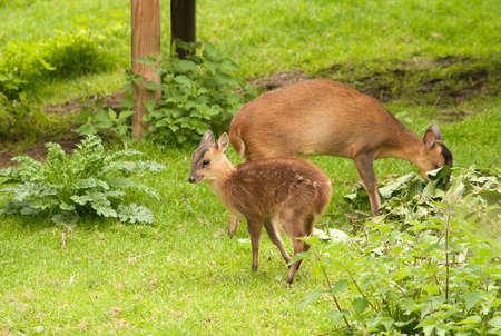 young muntjac deer with his mother