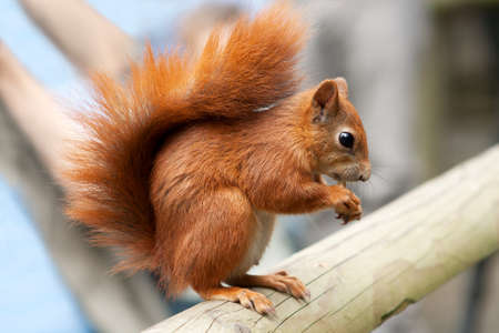 red squirrel eating a nut on a beam Stock Photo - 9925608