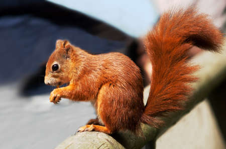 young red squirrel sitting on a piece of wood, showing off his bushy tail Stock Photo - 9925656