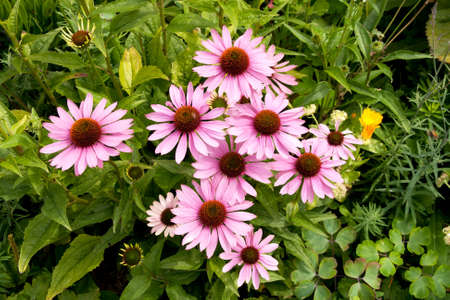 echinacea purpurea - coneflower flowers going over and buds appearing