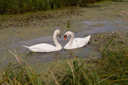 mated: Mated for life, swans share a pool covered in pond-weed Stock Photo