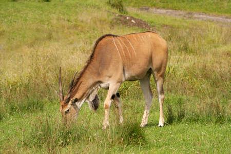 horn like: Eland grazing but shwoing of its horns