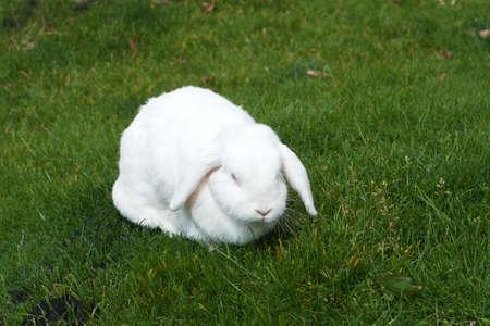 lapin blanc: semi-comateux lapin blanc sur l'herbe vert foncé