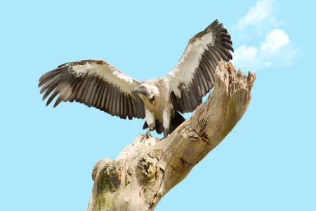 White backed vulture perched on an old dead tree photo