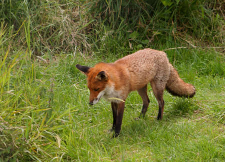 Fox standing standing still in the middle of a clearing