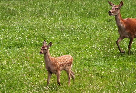 pursued: Young fallow deer pursued by open-mouthed Mom