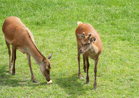 ponder: Two young red deer ponder discovery of a bread roll