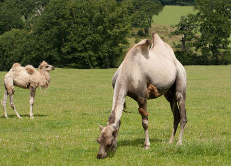 dromedaries: Two dromedaries, one grazing the other chewing the cud Stock Photo