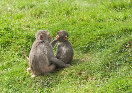 parasites: Two monkeys, grooming each other for parasites Stock Photo