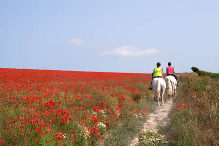 poppy field: Two horses walking slowly through a field of poppies in the South Downs, East Sussex Stock Photo
