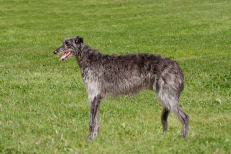 pedigree: Pedigree deerhound in a field