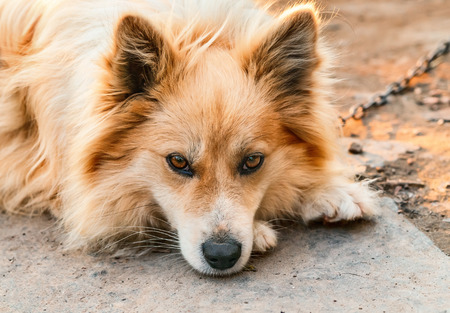 esquimales: Retrato de un perro en una cadena