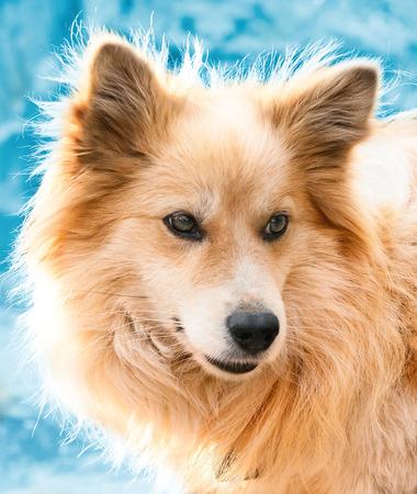 esquimales: Retrato de un hermoso perro en invierno